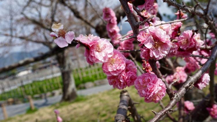 53 Japan Kyoto Arashiyama Sakura