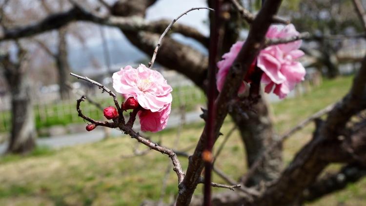 54 Japan Sakura Cherry Blossom