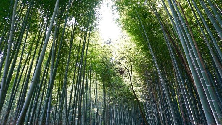 58 Japan Kyoto Arashiyama Bamboo