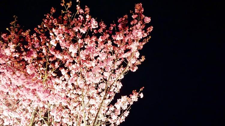 105 Japan Travel Nagoya Garden Sakura